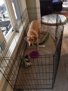 Dog in Dog Playpen