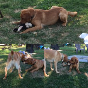 Koda and Meesha Playing 8 11 2016