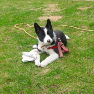 Matti the Karelian Bear Dog Puppy