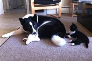 Dog with kitten: stop the dog from chasing the cat